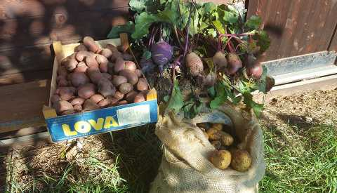 Potatoes and turnips grown in our own fields